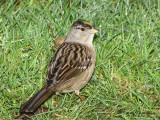 Golden-crowned Sparrow 6a.jpg