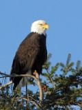 Bald Eagle 22a.jpg
