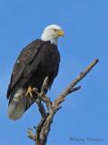 Bald Eagle 21a.jpg