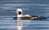 Long-tailed Duck 14d.jpg