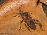 Leptoglossus occidentalis - Western Conifer Seed Bug 3b.jpg