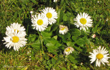 English Daisy - Bellis perennis 1b.jpg
