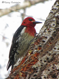 Red-breasted Sapsucker 1a.jpg