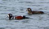 Harlequin Duck pair 1e.jpg
