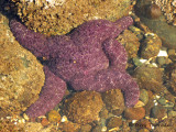 Purple Starfish 5a.jpg