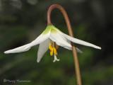 White Fawn Lily - Erythronium oregonum 1a.jpg