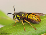 Vespula pensylvanica - Western Yellow Jacket 2b.jpg