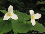 Western Trillium - Trillium ovatum 4a.jpg