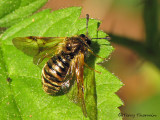 Bees, Wasps and Ants of B.C.