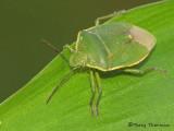 Chlorochroa sp. - Green Stink Bug A1a.jpg