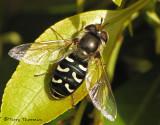 Scaeva pyrastri - Flower Fly 1a.jpg