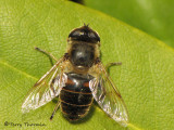 Eristalis tenax - Drone Fly dark individual 1.jpg