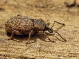 Otiorhynchus singularis - Weevil 1a.jpg