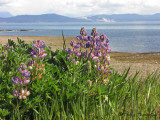 Seashore Lupines at Point Holmes 1a.jpg