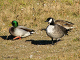 Cackling Goose and Mallard 2a.jpg