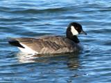 Cackling Goose 1a.jpg