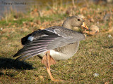 Greater White-fronted Goose juvenile 2a.jpg