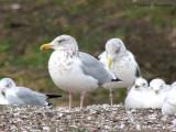 Herring Gulls winter plumage 2a.jpg