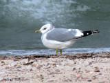 Mew Gull 11b copy.jpg