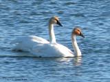 Tundra Swans 8b copy.jpg