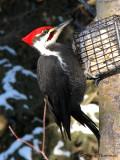 Pileated Woodpecker 18a.jpg