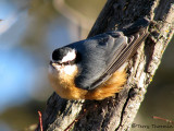 Red-breasted Nuthatch 13b.jpg