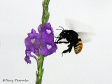 Carpenter bee in flight A2b - RN.jpg