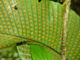 Fern sporophytes 1 - RN.JPG