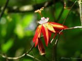 Passion flower - Passiflora vitifolia A1a - RN.jpg