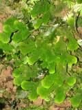 Thalloid liverwort A1a - RN.jpg