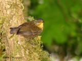 Birds (passerines) of Costa Rica