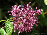 Fuchsia paniculata 1a - Sav.jpg