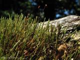 Moss - Polytrichum A1a - Sav.jpg