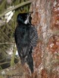 Black-backed Woodpecker 2a.jpg