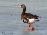 Greater White-fronted Goose 1b.jpg