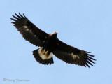 Golden Eagle juvenile in flight 1a.jpg