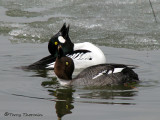 Common Goldeneyes courting 1a.jpg