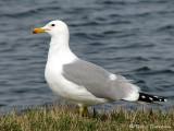 California Gull 9a.jpg