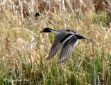 Northern Pintail in flight 1a.jpg