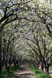 An Archway of Blossoms