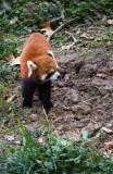 Tiger Panda ( Red Panda )