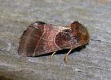 Schinia arcigera - 11128 - Arcigera Flower Moth