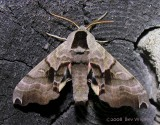 Smerinthus jamaicensis - 7821 - Twin-spotted Sphinx