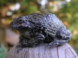 Hyla versicolor - Gray Tree Frog - photo 1