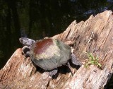 Painted Turtle - Chrysemys picta - basking on a log