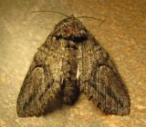 Moths of Southeast Arizona