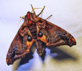 Paonias myops - 7825 - Small-eyed Sphinx