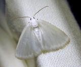 Lomographa vestaliata (Guenee) - 6667 - White Spring Moth