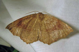Eutrapela clemataria - 6966 - Curved-toothed Geometer