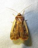 Ochropleura implecta - 10891 - Flame-shouldered Dart